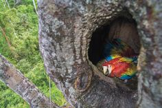 To protect Belize's Scarlet Macaws from poachers, a group of bodyguards is on duty day & night for 5 months straight