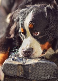 Bernese Mountain Dog - looks just like my boy chewing up all dad's work boots