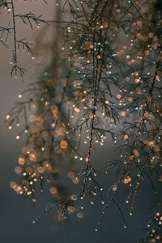 Gold Rain Drops on Tree Branches. Nature Photography.