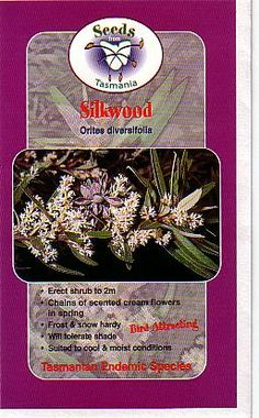Orites diversifolia [Silkwood] part of the Proteaceae family with White flowers flowering in Spring avaliable from Australian Native Plants located in Ventura, CA Shade Trees, Container Plants, Native Plants, White Flowers, Nativity, Seeds, Garden, Garten, Lawn And Garden