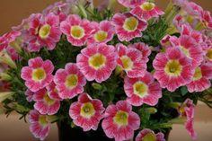Petunia 'Marvel Beauty Raspberry'