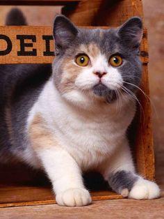 British Shorthair Dilute Calico Cat;
