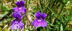 What flower is petite, pretty, and purple like a violet, but also eats bugs for dinner? Bog Plants, Wild Flowers, Irish, Gardening, Pretty, Pictures, Flowers, Photos, Irish Language
