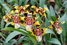 Orchidee+014