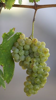 Verduzzo: Ramandolo, Colli orientali, Collio, Isonzo, Friuli-Aquileia, Friuli-Annia, Friuli-Latisana, Friuli-Grave.