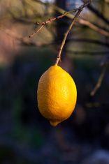 organic lemon stock photo