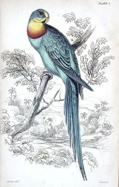 Superb Parrot, AKA Barraband's Ring Parakeet (Polytelis swainsonii, synonym: palæornis barraband).    Edward Lear, from Natural history of parrots, by Prideaux John Selby, Edinburgh, 1836.
