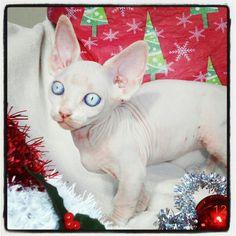 LiLNudists Cattery, Sphynx Bambino Hairless cat kitten