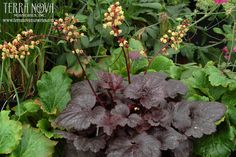 Heuchera 'Gotham' - Named for a dark city with its obsidian-black leaves. Heuchera 'Gotham' is a compact plant. It fills a pot quickly and flowers all spring, summer, and fall with primrose yellow flowers that stand out like the moon on a dark night. Good in a container or as an edger in the landscape.
