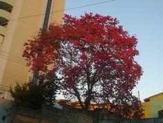 o sol pintou de vermelho o Ipê roxo