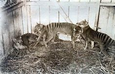 "thylacine- the extinct Tasmanian animal ""done in"" in the 1930's."