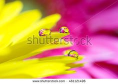 Yellow daisy colors in water drops with pink background
