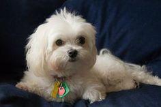 Sweet Maltese Pup  http://www.tumblr.com/blog/puppyexpressions