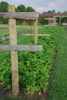 Raspberry+Trellis | Everbearer Raspberries Harvest from July To Frost | What Grows There ...