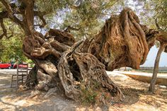 Picture of 2000 year old olive tree Olea europaea in Exo Hora on the island of Zakynthos It s the oldest tree on the island stock photo, images and stock photography. Zakynthos, Old Trees, Olive Tree, Growing Tree, Wood Design, Travel Around, Athens, Landscape Design, Old Things