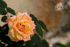2018年8月2日(木)バリ島ウブドのお天気は晴れ。室内温度25.5℃、湿度64%。美しく咲いたバラの花。マーブル模様が美しい~♪インドネシアではマワール・バティックと呼ばれているそう。 #今日も良い日になりますように #バリ島 #ウブド #バラ #ローズ #マーブル #フラワー #花
