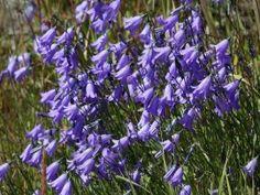 dzwonek okrągłolistny - campanula rotundifolia