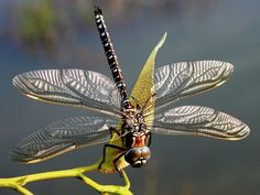 Silver-winged dragonfly.
