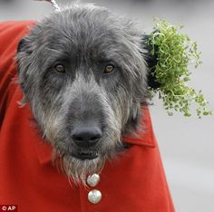 Irish Wolfhound Domhnall, who got his own sprig of shamrock from the on Duchess
