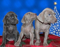 Shade of Grey Weimaraners has been breeding certified pedigree weimaraners for over 10 years. Visit our website to view our available puppies! Weimaraner Puppies, Beagles, Puppies For Sale, Shades Of Grey, Aries, Doggies, Pretty Girls, Poppy, Labrador Retriever