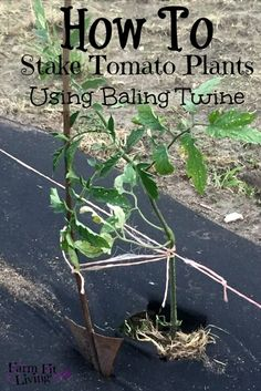 How to Stake Young Tomato Plants Using Baling Twine