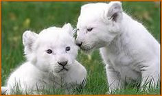witte leeuw welpjes