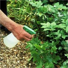 After reading this post killing weeds will become a cinch for you and you'll stop buying herbicides.