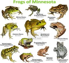 Minnesota Tree Species | Frogs Species of Minnesota | Flickr - Photo Sharing!