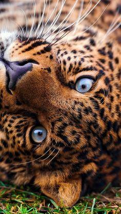 leopard_face_predator_lie_look_grass_53397_640x1136 | Flickr - Photo Sharing!