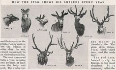 How the Stag Grows His Antlers Every Year Natural World, Natural History, Stag Tattoo, Popular Art, Oh Deer, Learn To Draw, Drawing Reference, Art Images, Mammals