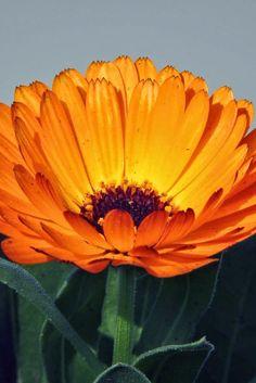kind of Marigold | Backyards Click