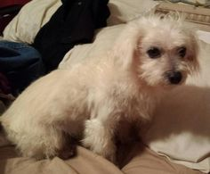 Charlie is an adoptable Maltese, Poodle Dog in Bluffton, SC Rescued from Horry County Shelter in South Carolina.  He will be neutered when old enough.  He  ... ...Read more about me on @petfinder.com