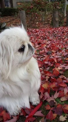 White Pekingese of Raychelle Ann #Pekingese. Faceook group Pekingese https://www.facebook.com/photo.php?fbid=309400679253102&set=pcb.10152882620152904&type=1&theater