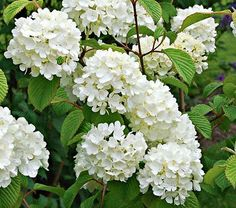Viburnum plicatum Popcorn  In spring, the branches of this Japanese Snowball (Viburnum plicatum) are packed with 2–3in round clusters of white blossoms. Multi-stemmed 'Popcorn' has an attractive upright, tiered habit and burgundy-red fall color:
