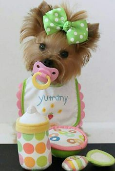 Yorkie-so freakin cute! Cute Baby Dogs, Cute Dogs And Puppies, Cute Babies, Cute Funny Animals, Cute Baby Animals, Animals And Pets, Yorkies, Yorkie Puppy, Cockapoo