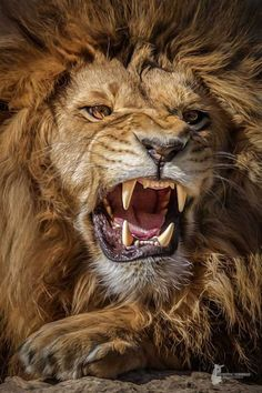 Tattoos Discover Lion rugissant leo lion lion art animals and pets big cat tattoo Lion Wallpaper Animal Wallpaper Lion Pictures Animal Pictures Pictures Images Majestic Animals Animals Beautiful Beautiful Lion Simply Beautiful Lion Images, Lion Pictures, Animal Pictures, Images Of Lions, Pictures Images, Tiger Images, Animals Images, Tier Wallpaper, Animal Wallpaper
