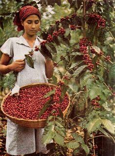 Colheita de café em El Salvador.  Fotografia: National Geographic.  http://www.portalanaroca.com.br/quem-ja-fez-isso-5/