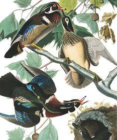 Audubon Birds of America Vintage 1979 Art Print Collectable Book PLATE 134 Wood Duck Beautiful Birds Tree Nest Berries Audubon Prints, Audubon Birds, Composition Painting, Most Beautiful Birds, Birds Of America, History Images, Art History, John James Audubon, Free Illustrations