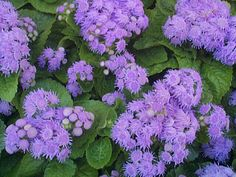 Ageratum..........a natural mosquito repellent and quite beautiful