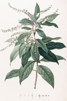 Clethra Arborea (Lily of the Valley Tree), 1803-1805 (stipple-engraved plate), Redoute, Pierre Joseph (1759-1840)