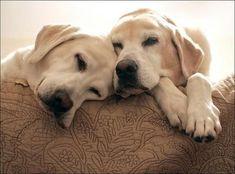 #labradorretriever
