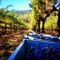 Cabernet grapes being harvested.  #TNV  #trinchero  #NapaHarvest  #napavalley #harvest2013