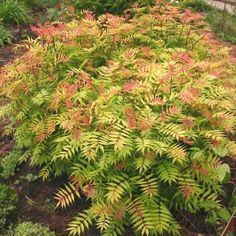 sorbaria-sorbifolia-sem-fausse-spirée-