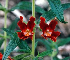 This Mimulus or Monkey flower is a California native that can cover the mountain side--love the rust color!  Inspiration!