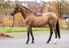 Grace Beauty, Oldenburg, Horses, Donkeys, Animals, Animales, Animaux, Donkey, Animal
