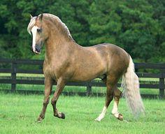 Paso Fino stallion Bolero de Sierra Morena. photo: Cheri Prill.