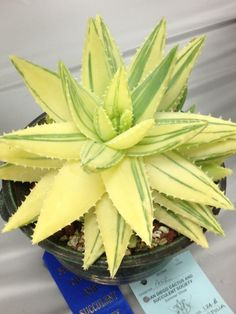Verigated Aloe brevifolia.. I need this with my aloe collection!!