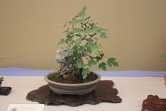 fig carica bonsai | Bonsai Higuera - Ficus Carica - Assoc. Bonsai Cocentaina