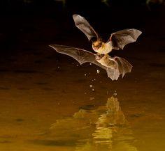 Little Brown Bats by Myer Bornstein, via 500px
