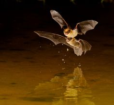 Little Brown Bats (by Myer Bornstein)